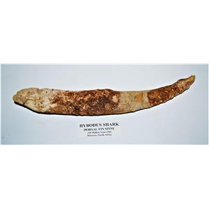 HYBODUS Shark Dorsal Fin Spine Real Fossil Huge!!!  12.5 inch #14378 13o