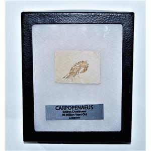 Carpopenaeus Genuine Fossil Shrimp Prawn 95 MYO w/ Display Label & Box LDB 14379