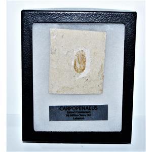 Carpopenaeus Genuine Fossil Shrimp Prawn 95 MYO w/ Display Label & Box LDB 14380