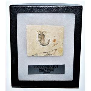 Carpopenaeus Genuine Fossil Shrimp Prawn 95 MYO w/ Display Label & Box LDB 14385