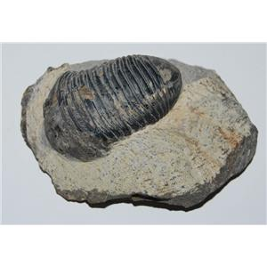 TRILOBITE PARAHOMALONOTUS Fossil Morocco 405 Million Years old #2275 11o