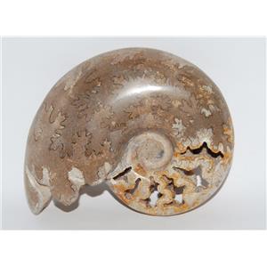 Schloenbachia Polished AMMONITE Fossil Morocco 100 Million YO 4.25 inch #2321