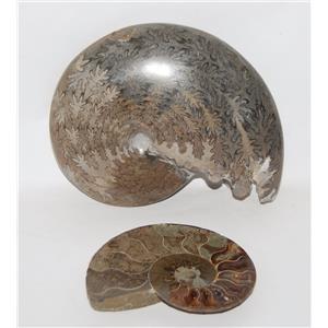 AMMONITE Fossils Lot of 2 (100-120 Mil Yrs old) Morocco & Madagascar #2431