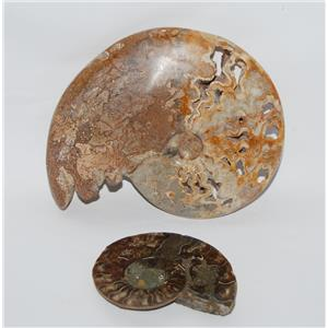 AMMONITE Fossils Lot of 2 (100-120 Mil Yrs old) Morocco & Madagascar #2433