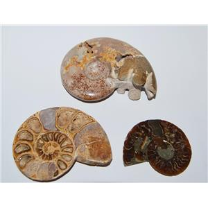 AMMONITE Fossils Lot of 3 (100-120 Mil Yrs old) Morocco & Madagascar #2448
