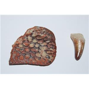 Crocodile Scute (Armor Plate)& Tooth Fossil Morocco 100 Million Yr Old #12584 5o