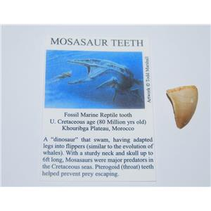 Mosasaur Dinosaur Tooth Fossil 3/4 to 1 inch Size Small w/COA #12874 2o