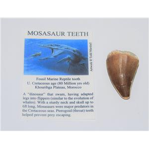 Mosasaur Tooth Fossil w/ COA (L) 1 1/2-1 3/4 Inch Dinosaur Age Teeth 4o