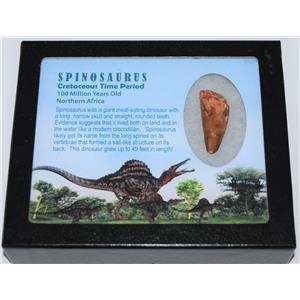 Spinosaurus Dinosaur Tooth Fossil w/ Display box LDB & COA #11896 15o