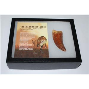 "CARCHARODONTOSAURUS Dinosaur Tooth 3.05"" Fossil African T-Rex XLDB #2849"