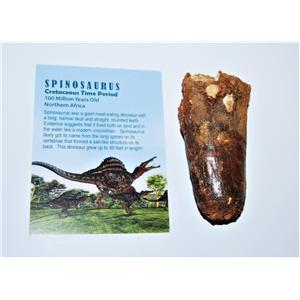 SPINOSAURUS Dinosaur Tooth Fossil 3.329 inch w/ Info Card #13134 10o