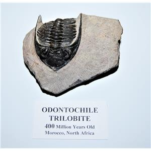 Odontochile TRILOBITE Fossil Morocco 400 Million Years old #13300 14o