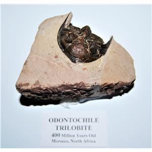 Odontochile TRILOBITE Fossil Morocco 400 Million Years old #13303 18o