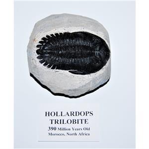 Hollardops TRILOBITE Fossil 390 Million Years old #13308 18o