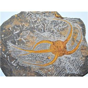 Brittle Star Fossil 450 Million Years Old Morocco #13342 34o