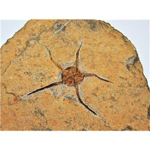 Brittle Star Fossil 450 Million Years Old Morocco #13343 61o