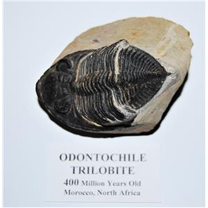 Odontochile TRILOBITE Fossil Morocco 400 Million Years old #13582 14o