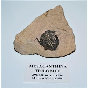 TRILOBITE Metacanthina Fossil Morocco 390 Million Years old #13588 16o