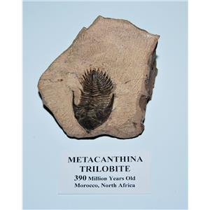 TRILOBITE Metacanthina Fossil Morocco 390 Million Years old #13589 19o