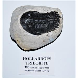 Hollardops TRILOBITE Fossil 390 Million Years old #13598 18o