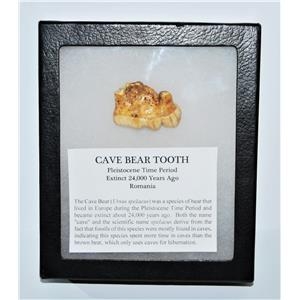 CAVE BEAR Tooth Fossil Extinct Pleistocene - w/ Display Box LDB #13708 12o
