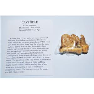 CAVE BEAR Tooth Fossil Pleistocene Extinct Cavebear #13714 4o