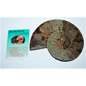 AMMONITE Fossil Polished 6 inches Madagascar #13769