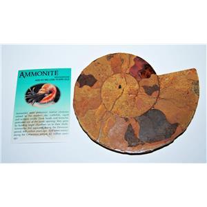 AMMONITE Fossil Polished 5 1/2 inches Madagascar #13771