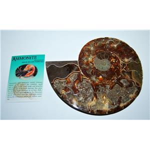 AMMONITE Fossil Polished 6 3/4 inches Madagascar #13774 25o