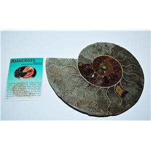 AMMONITE Fossil Polished 7 1/2 inches Madagascar #13779 33o
