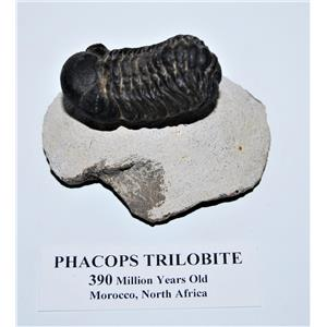 Phacops TRILOBITE Fossil Morocco 390 Million Years old #13813 13o