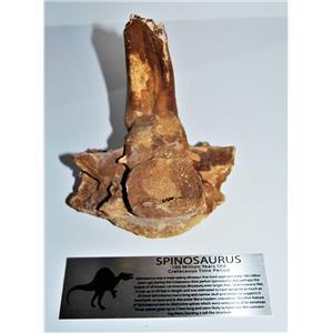Spinosaurus Dinosaur Vertebra Fossil & Display Label 100 Mil Yr. Old #13895 30o