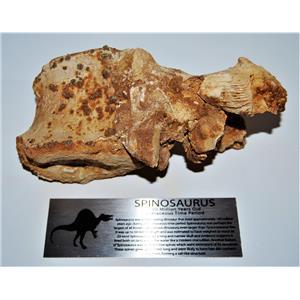 Spinosaurus Dinosaur Vertebra Fossil & Display Label 100 Mil Yr. Old #13911 35o