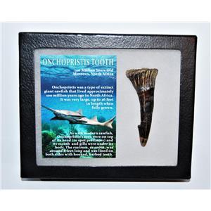 Onchopristis Tooth Fossil 100 Mil Yr Old 2.818 inch w/ Display Box LDB 14005 8o