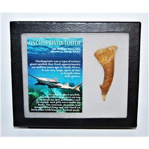 Onchopristis Tooth Fossil 100 Mil Yr Old 2.691 inch w/ Display Box LDB 14007 8o