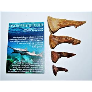 Onchopristis Sawfish Tooth Fossil Lot of 4 Teeth-100 Million Years Old #14018 5o