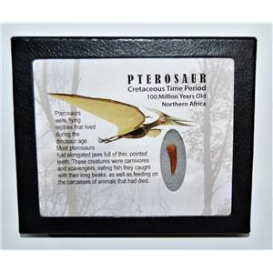 PTEROSAUR Dinosaur Tooth Fossil .863 inch 100 MYO w/ Display Box SDB #14022 11o