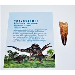 Spinosaurus Dinosaur Tooth Fossil 2 inch Size #14056 4o