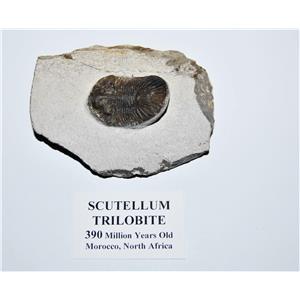 Scutellum Trilobite Fossil Morocco 390 MYO #14062 9o