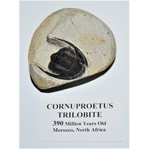 Cornuproetus TRILOBITE Fossil Morocco 390 Mill Years old #14065 10o