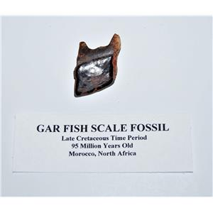 Gar Fish Scale Real Fossil Morocco 1 Inch Large Size With COA #14087 4o