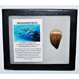 MOSASAUR Large Tooth Fossil Dinosaur 1.639 inch w/ Display Box & COA #14128 15o