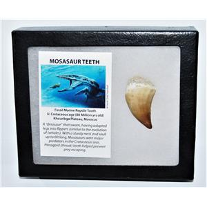 MOSASAUR Large Tooth Fossil Dinosaur 1.734 inch w/ Display Box & COA #14131 15o