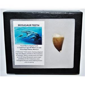 MOSASAUR Large Tooth Fossil Dinosaur 1.502 inch w/ Display Box & COA #14136 15o