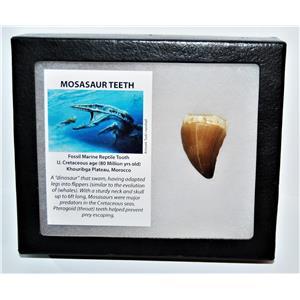 MOSASAUR Large Tooth Fossil Dinosaur 1.558 inch w/ Display Box & COA #14137 15o