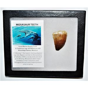 MOSASAUR Large Tooth Fossil Dinosaur 1.556 inch w/ Display Box & COA #14139 15o