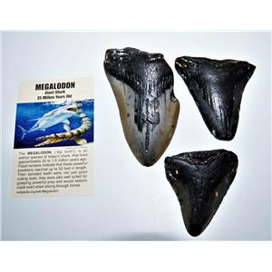 MEGALODON TEETH  Lot of 3 Fossils w/ 3 Info Cards Huge SHARK #14218 12o