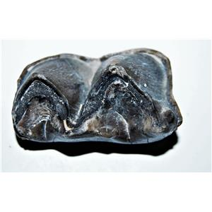 Titanothere Brontothere Large Tooth Fossil 50 Million Years Old #14264 7o