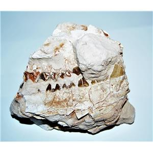 UNPREPARED Oreodont Fossil - Front of Skull w/Eye Socket 30 MYO #14269 60o