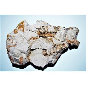 UNPREPARED Oreodont Upper Skull Fossil 30 Mil Yrs Old #14274 74o